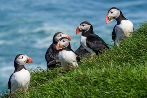 Puffin rescue in Westman Islands